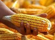 El maíz para palomitas